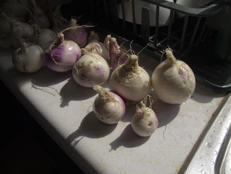 freshly scrubbed turnips by a sink